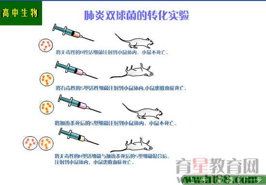 肺炎双球菌的转化实验flash课件