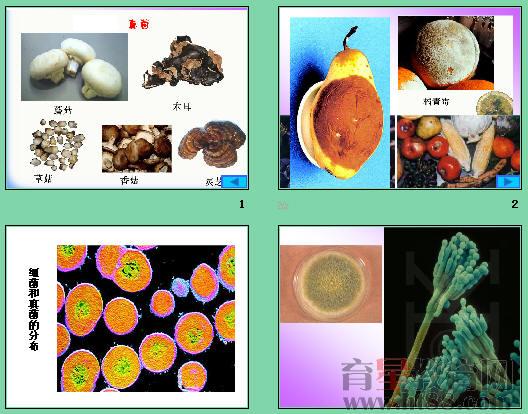 细菌和真菌的分布ppt4