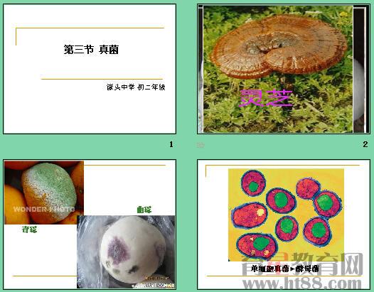 共17张,课件介绍了常见的真菌,讲述了真菌与细菌的区别,比较了青霉
