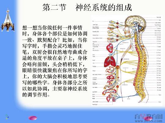 神经系统的组成flash课件