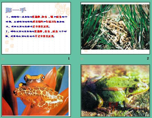 《两栖动物的生殖和发育》ppt3