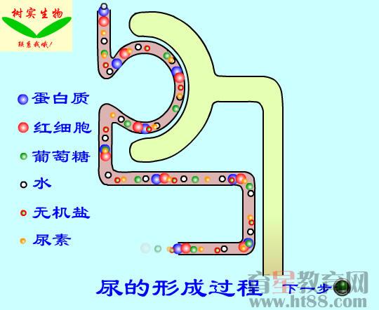 尿的形成过程flash素材