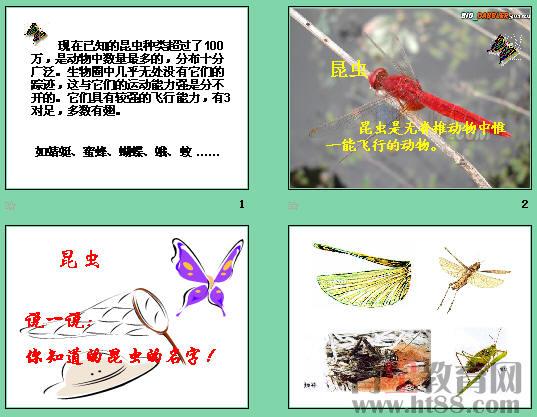 空中飞行的动物——昆虫ppt