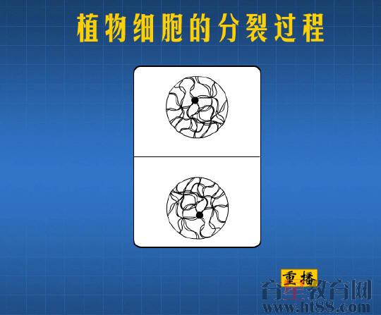 植物细胞的分裂过程flash素材