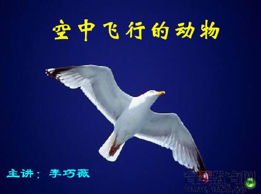 空中飞行的动物flash课件1