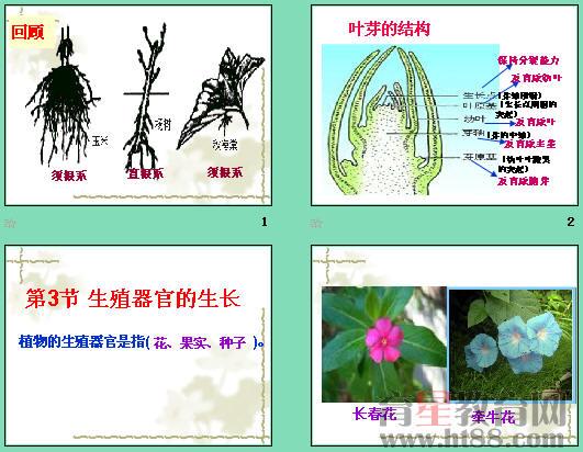 课件讲述了叶芽的结构