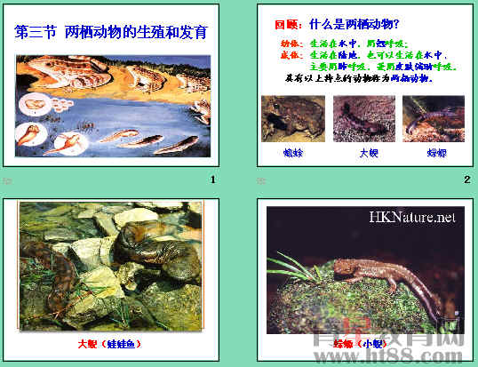 青蛙泄殖系统结构图