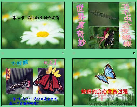 蝴蝶成长步骤图